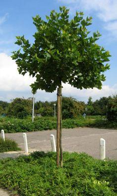 plantanus-miranet