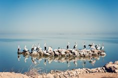 Pelicans of the Coorong, South Australia Copyright Millie Brown
