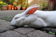 Bunny Naps on the Cool Bricks of the Patio