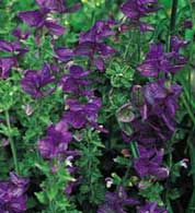 Top 10 Plants for a Purple Garden
