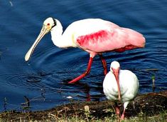 Roseate spoonbill and white ibis feeding near a bank