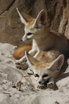 Fennec Foxes!!