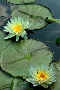 Water Pond, Water Garden, Iphone Wallpaper Landscape, Lotus Flower Art, Underwater Plants, Monet, Lily Pond, Water Flowers, Flower Images
