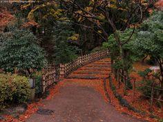 Ciliegio più famoso di Kyoto
