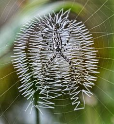 Argiope- Known As The Writing Spider.