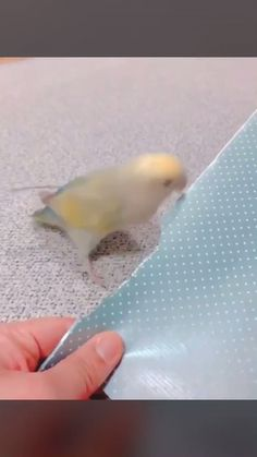 made his own extension! Related posts: Paper parrot … Plate with a difference Aurednik Bambini-Fingerpaint … Funny Birds, Cute Birds, Cute Funny Animals, Cute Baby Animals, Cute Animal Videos, Funny Animal Pictures, Nature Animals, Animals And Pets, Funny Parrots