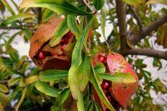 ....το σκάσιμο των καρπών αποτελεί το πιο συνηθισμένο πρόβλημα της καλλιέργειας της ροδιάς, το οποίο συντελείται αρχές φθινοπώρου κατά τ... Pear, Apple, Fruit, Garden, Plants, Apple Fruit, Garten, Lawn And Garden, Gardens