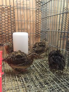 15 things I've learned raising coturnix quail for eggs!