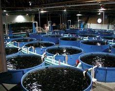 on-land aquaculture – Aquaculture DIGEST Aquaponics System, Hydroponics, Catfish Farming, Tilapia Farming, Poultry Farming, Koi Fish Care, Farm Business, Backyard Farming, Urban Farming