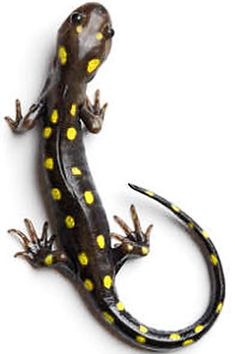 Mother Nature and her creation of a sensitive barometer in the Spotted Salamander (Ambystoma maculatum).