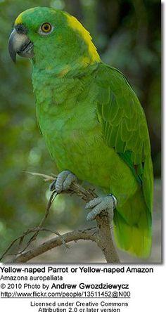 Yellow-naped Parrot or Yellow-naped Amazon Parrot (Amazona ochrocephala auropalliata or Amazona auropalliata)