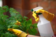 Avoiding chemicals doesn't mean you have to put up with garden pests. Here are 10 of the best natural substances that act as organic pesticides. How To Make Organic Pesticides - 10 Recipes That Really Work Azadirachta Indica, Baking Soda Cleaning, Natural Pesticides, Plant Guide, Neem Oil, Tomato Plants, Edible Plants, Best Essential Oils, Garden Pests