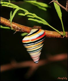 These little treasures are Candy-Striped Land Snails (Liguus virgineus), otherwise known as Candycane Snails or Rainbow Snails, and I think it's pretty obvious where they get their name! This is a species of air-breathing, terrestrial land snail that commonly resides in the trees.