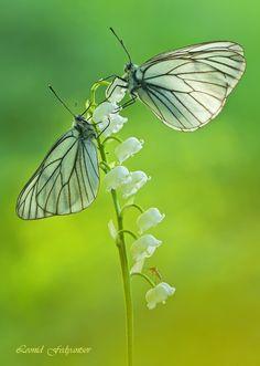 Butterflies: The Black-veined White. Aporia crataegi.  Flower: Lily Of The Valley.  Convallaria majalis.