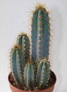 Growing Succulents, Cacti And Succulents, Planting Succulents, Succulent Planter Diy, Succulent Gardening, Purple Plants, Exotic Plants, Cactus Names, San Pedro Cacti