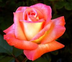A rose is a rose - roses Photo