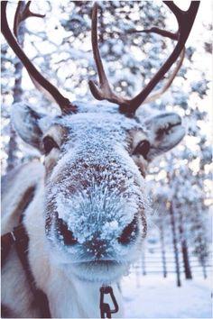 covered in snow. Reindeer covered in snow. - Reindeer covered in snow. Reindeer covered in snow. -Reindeer covered in snow. Reindeer covered in snow. - Reindeer covered in snow. Reindeer covered in snow. - Cute Animals Covered in Snow! Animals And Pets, Baby Animals, Funny Animals, Cute Animals, Wild Animals, Animals In Snow, Cute Creatures, Beautiful Creatures, Animals Beautiful