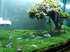 Looking for inspiration to get your fresh water aquascape or aquarium started? Or maybe just looking for some new ideas? Check out Bonsai Driftwood's gallery. Live Aquarium Plants, Planted Aquarium, Fish Tank Themes, Driftwood Chandelier, Fish Tank Design, Aquarium Driftwood, Aquarium Landscape, Aquarium Fish Tank, Fish Tanks