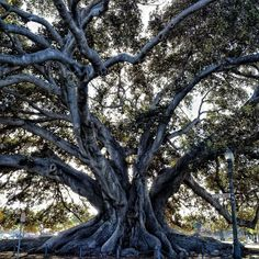 Nature lovers will awe at the Moreton Bay Fig Tree, which rises 80 feet above the ground in Santa Barbara, #California. Photo courtesy of ravenreviews on Instagram.