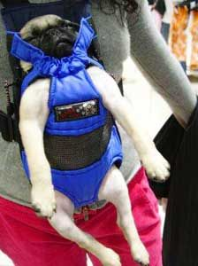"""""""Somebody, save me!""""   Pug carriers? - Pugslife"""