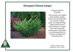 Juniperus-chinensis-Shimpaku