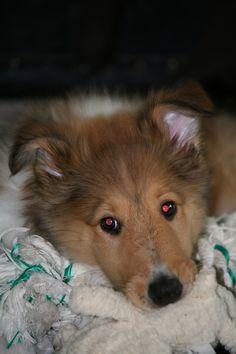 Katie, my collie puppy