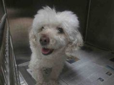 DOLCE-ID#A1477059  My name is Dolce and I am a neutered male, white Poodle - Toy and Bichon Frise.  The shelter thinks I am about 11 years old. I weigh approximately 11 pounds.  I have been at the shelter since May 09, 2014. West Los Angeles Animal Care and Control Center at (888) 452-7381 Ask for information about animal ID number A1477059