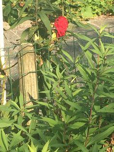 Camellia Latijnse naam: Camellia japonica
