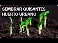 Como Sembrar Guisantes En El Huerto Urbano o Maceta || La Huertina De Toni