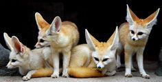 Фенек большеухая лиса - мастер по выживанию в пустыне Смотри больше http://kot-pes.com/fenek-foto-lisa/