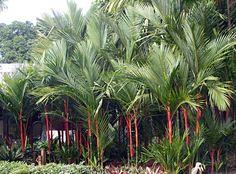 Palmeira-laca – (Cyrtostachys renda) - PlantaSonya - O seu blog ...