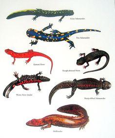 Asian Salamander, Fire Salamander, Eastern Newt, Hellbender Vintage 1980s Book Plate Page. $10.00, via Etsy.