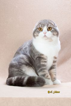 Scottish Fold.. This is a triple fold which most CFA judges want.