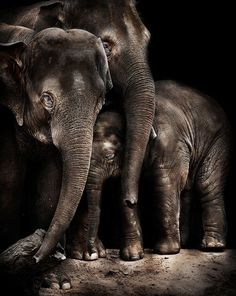 The cutest animals on the planet. Baby elephants. Gotta love them! Wanna one? Buy huge baby elephant stuffed toy pillow from TheElephantStore on Etsy.com https://www.etsy.com/uk/listing/465468794/huge-plush-elephant-soft-toy-pillow?ref=shop_home_active_12