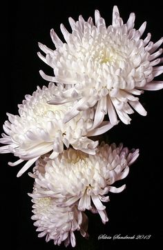 White Chrysanthemum..... by Silvia Sandrock, via 500px