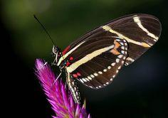 What a Beauty!  Zebra LongWing Butterfly