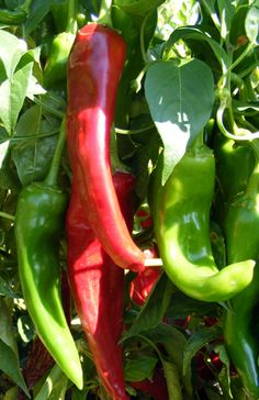 The Barker's Hot chili pepper is an extra-hot chile, the hottest of the Anaheim/ New Mexico variety, and it has great flavor. New Mexico Style, New Mexico Usa, Mexico Food, List Of Peppers, Types Of Chili Peppers, Paprika Pepper, Pepper Plants, Hottest Chili Pepper, Stuffed Hot Peppers