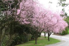 Blooming ornamental plum trees