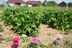 Fasole pitică și azalee de vară, mulcite cu paie Garden Ideas, Sun, Culture, Plant, Lawn And Garden, Landscaping Ideas, Backyard Ideas