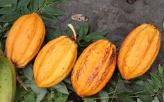 The first cocoa tree of the island was discovered around 1655 in a forest area. So it was included in the native trees of the West Indies. In 1684, a Jew named Benjamin Dacosta made the first test of a regular cocoa plantation in Martinique.