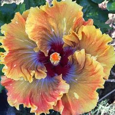 exotic flowers and trees Strange Flowers, Unusual Flowers, Amazing Flowers, Beautiful Flowers, Hibiscus Plant, Hibiscus Flowers, Tropical Flowers, Unusual Plants, Rare Plants