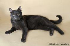 Gato Azul Ruso: Este Gato Robusto Podría Ser Su Compañero Durante 15 a 20 Años