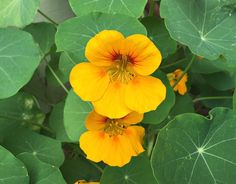 How to Grow and Use Nasturtiums