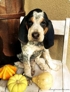 Adding a puppy to our family. Ellie, blue tick coon hound.