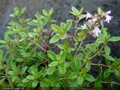 Thymus serpyllum Thymus Serpyllum, Antiques, Pink Blossom, Flowers, Backyard Farming, Lawn And Garden, Green, Plants, Antiquities
