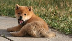 Silly Puppy Playing with Cat,Barking at Other Puppies and Pulling the Bl. Shiba Inu Doge, Very Cute Puppies, Sexy Smokey Eye, New Wallpaper Hd, Puppy Play, Puppy Care, Dog Photos, Dog Owners, I Love Dogs