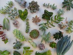 50 Boutures de succulentes de qualité un bel par SucculentsGalore