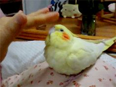 """fat-birds:  the cuddliest cockatiel.   """