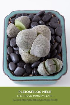 """Split Rock"" is an egg-shaped succulent that has two gray-green leaves and a cleft down the center. New leaves grow at right angles to the split. ""Split Rock"" grows well indoors, making it perfect for How To Water Succulents, Flowering Succulents, Types Of Succulents, Propagating Succulents, Growing Succulents, Planting Succulents, Indoor Succulents, Succulent Plants, Succulent Names"