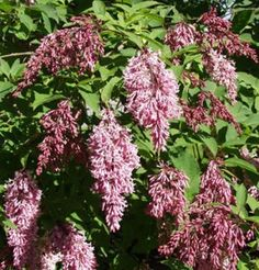 Syringa reflexa nokkusyreeni Shrubs For Landscaping, Syringa, Fungi, Flora, Landscape, Plants, Animals, Scenery, Animales